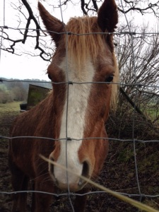 Met this friendly horse on our walk along the back lane from Clitheroe to Waddington