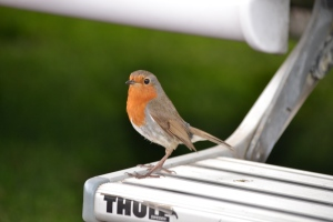 This feathered beauty kept nicking our nibbles ... 'Robbin' Red Breast'