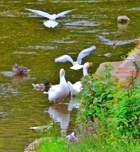 Bird life on the River Wharfe
