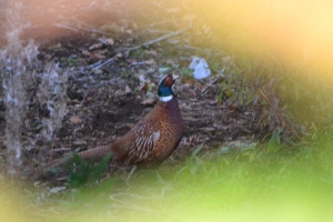Friendly pheasant snapped to the rear of our pitch