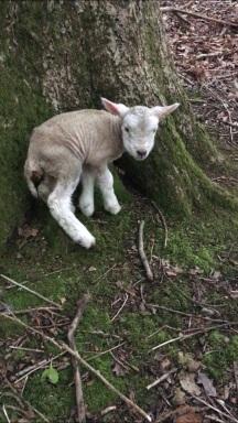 Sweet little lamb