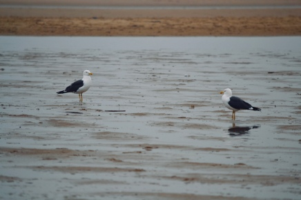Gulls at Ainsdale beach