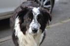 The friendly pub dog Taz 🐶